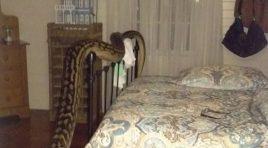Mujer Descubre Gigantesca Serpiente En Su Habitación